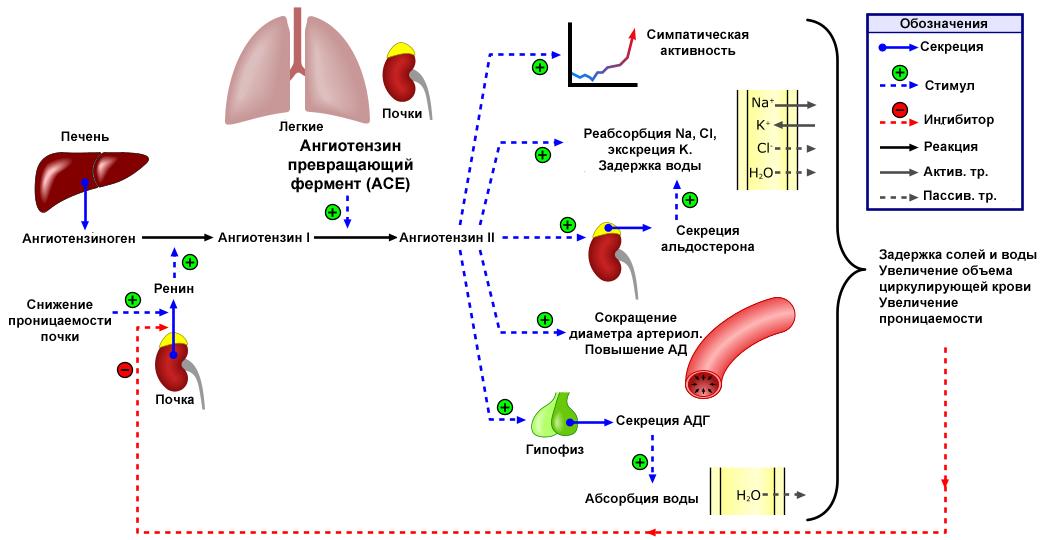 1 ir 2 laipsnių hipertenzija, kuri yra blogesnė kokia yra 3 stadijos hipertenzijos rizika4