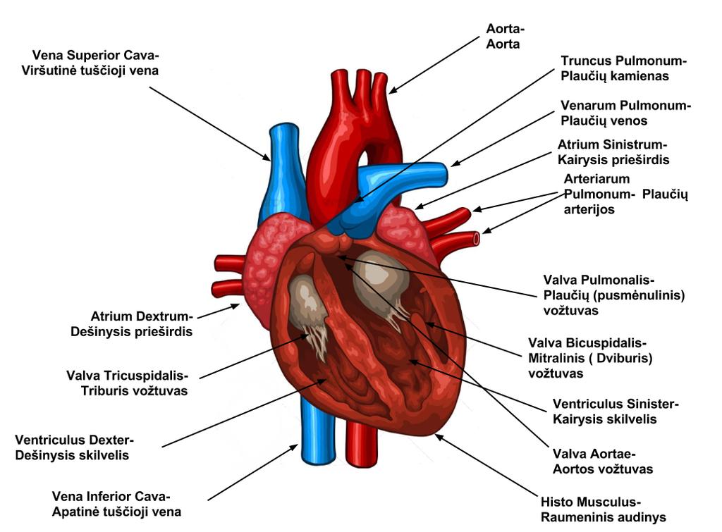 panikos priepuoliai su hipertenzija