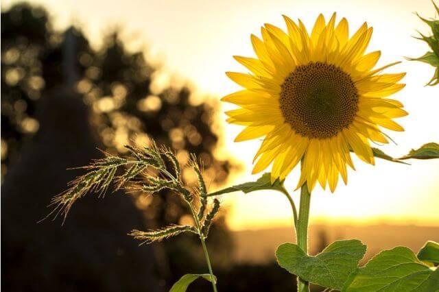 hipertenzija saulėgrąžos